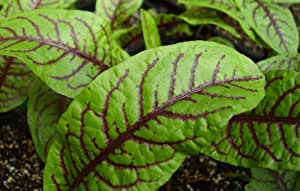 Sorrel Seeds- Blood-Veined- Heirloom Greens- 200+ Seeds