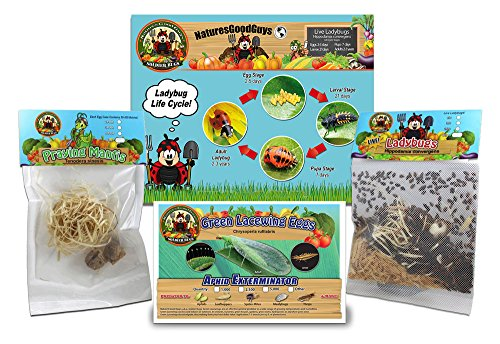 Bug Sales 1,500 Live Ladybugs & 2 Praying Mantis Eggs in Pouch & 1000 Green Lacewing Eggs Includes Ladybug Life Cycle Poster]()