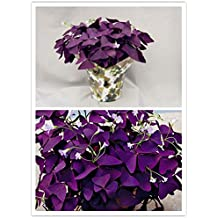 10 pcs Purple Shamrock- Oxalis triangularis Bulbs Easy Grow Perennial