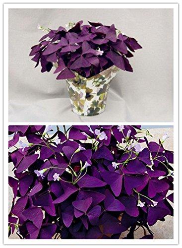 10 pcs Purple Shamrock- Oxalis triangularis Bulbs Easy Grow Perennial