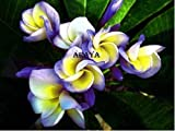 ''ROLL DRAGON'' FRAGRANT PLUMERIA'S CUTTING WITH ROOTED 7-12 INCHES REGISTERED TRACK ONLINE 100%GUARANTEE SATISFICATION