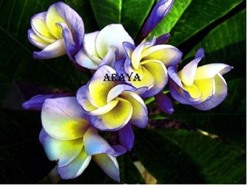 ''ROLL DRAGON'' FRAGRANT PLUMERIA'S CUTTING WITH ROOTED 7-12 INCHES REGISTERED TRACK ONLINE 100%GUARANTEE SATISFICATION by Frangipani Tropical Plant Fresh