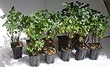 Rhus aromatica Gro-Low Package of 10 plants in 4''-deep pots