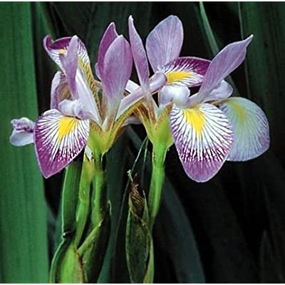 Southern Blue Flag Iris 10 Seeds-Iris virginica-Aquatic by AchmadAnam : Garden & Outdoor