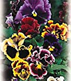 Chalon Giant Pansy 100 Seeds/Seed -Heirloom