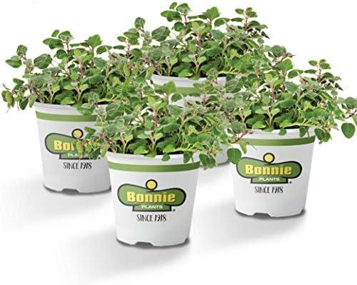 Amazon Com Bonnie Plants Greek Oregano Live Herb Plants 4 Pack