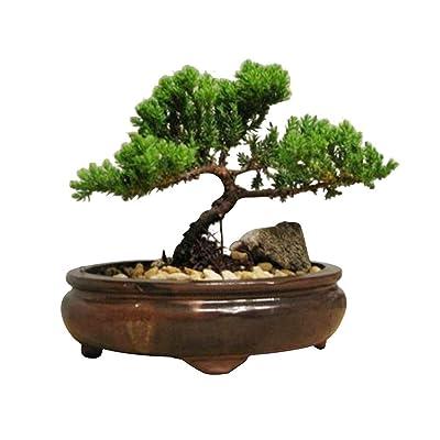 Bonsai Japanese Juniper Live Tree Plant Best Gift - USA_Mall: Garden & Outdoor