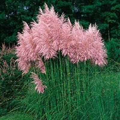 Pampas Grass Pink 500 Seeds Ornamental Grass Seeds Cortaderia Selloana : Garden & Outdoor