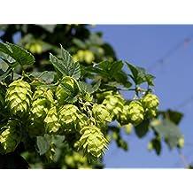"""Centennial Beer Hops Vine - Humulus - Grow your own Beer - 2.5"""" pot"""