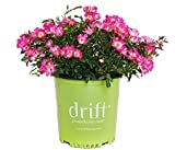 Drift Roses - Rosa Pink Drift (Rose) Rose, Pink Flowers, 2 - Size Container