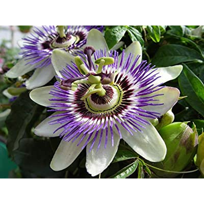 Passion Flower Seeds - PURPLE - Tropical Flowering Vine - Exotic - 20 Seeds : Garden & Outdoor