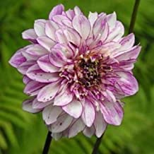 Dahlias,Powder Puff 'Brindisi'( Tuber ) Giant Flowers, Great Cut Flowers !