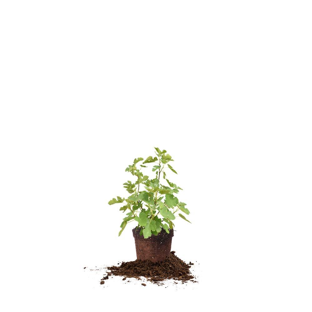Perfect Plants LSU Purple Fig Tree Live Plant, 1 Gallon, Includes Care Guide