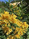 #1343 Night blooming Yellow Jasmine* 7 Seeds*Very Rare