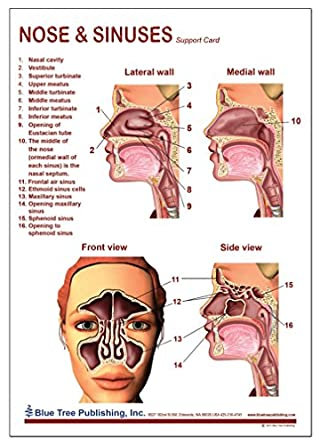 Nose And Sinuses Anatomical Chart Laminated Card Science Prints
