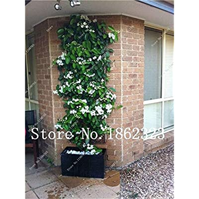 Kasuki 50 Pcs Rare Climbing Plants Bonsai Jasmine Flower Amazing Smell & Beautiful Fragrant Flowers Perennial Plant DIY Home Garden - (Color: 5) : Garden & Outdoor