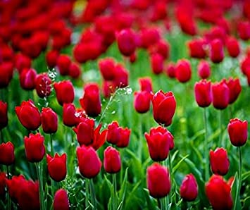 Tulipa spring song tulip spring song 5 bulbs amazon tulipa spring song tulip spring song 5 bulbs mightylinksfo Image collections
