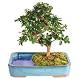 Brussel's Bonsai Live Fukien Tea Indoor Tree - 6 Years Old; 6'' to 8'' Tall with Water Pot