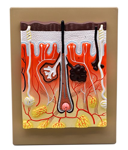 EISCO Human Skin Model, 300 Times Enlarged, Hand