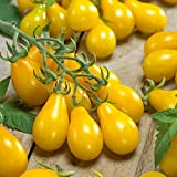 Burpee 'Yellow Pear' Heirloom | Yellow Pear Tomato | 150 Seeds