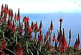 10 Seeds Rare Aloe Arborescens Kranz Vera Healing Succulent Plant Seed