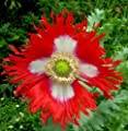 Danish Flag Afghan Poppy 250 Seeds - Papaver Somniferum by Hirt's Gardens