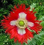 Danish Flag Afghan Poppy 250 Seeds - Papaver Somniferum
