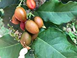 Seeds village Exotic Peanut Butter Fruit Bunchosia argentea or Bunchosia armeniaca Rare Tropical Fruit Tree Seeds (Pack of 20 Seeds)