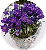 les vrais bulbes de crocus safran iran safran semences non safran bulbes de fleurs happy. Black Bedroom Furniture Sets. Home Design Ideas