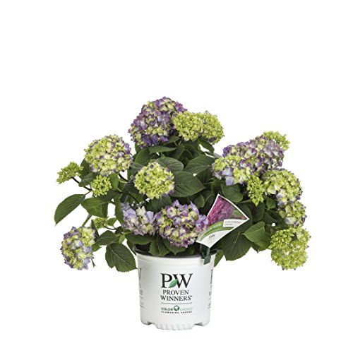 Let's Dance Rave Reblooming Hydrangea (Macrophylla) Live Shrub, Purple or Pink Flowers, 1 Gallon