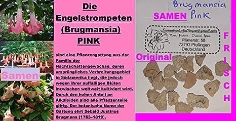 6x Engelstrompeten Brugmansia Pink Samen Strauch Garten Pflanze 235