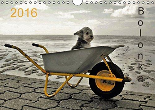 Bolonka 2016 (Wandkalender 2016 DIN A4 quer): Ein Wandkalender nicht nur für Bolonka - Liebhaber (Monatskalender, 14 Seiten ) (CALVENDO Tiere)