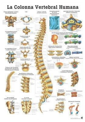 Amazoncom The Human Spine Laminated Anatomy Chart La Columna