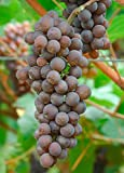 Pinot Grigio Wine Grape Vine - Plantable Year-Round!