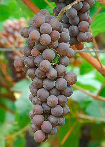 Grape Pinot - Pinot Grigio Wine Grape Vine - Plantable Year-Round!