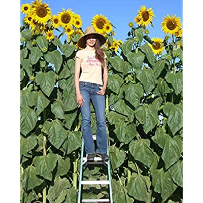 Skyscraper Sunflower Seeds for Planting | 20 Pack | Huge 15-20 feet Tall with Giant Sunflowers : Garden & Outdoor