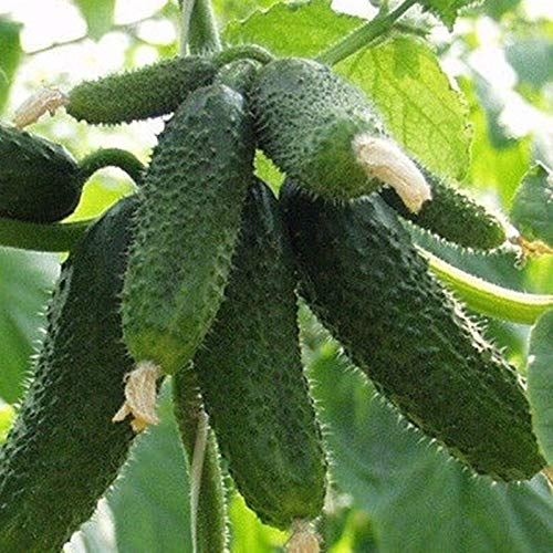 - Seeds Cucumber Amur f1 self-Pollinating Early Hybrid Variety