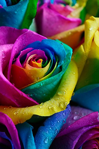 Fresh rainbow roses bouquet by flower explosion 12 stems for Where can i buy rainbow roses