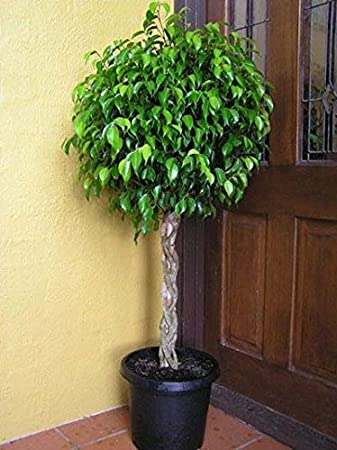 Benjamina Ficus Tree  Unique Potted Tree, Perfect As A Patio Plant Or  Indoor Tree