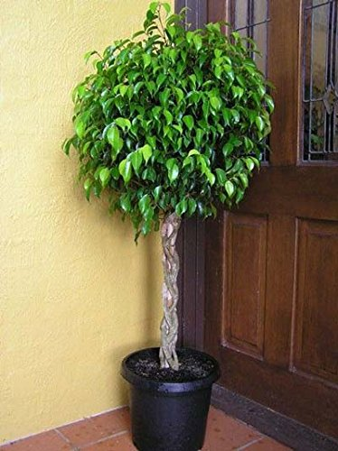 Ficus the best Amazon price in SaveMoney.es