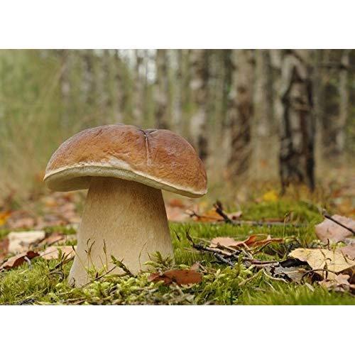 Penny bun seeds mycelium; cep porcino porcini