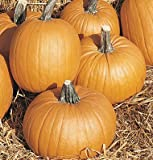 SeeKay Pumpkin Tom Fox - 10 seeds
