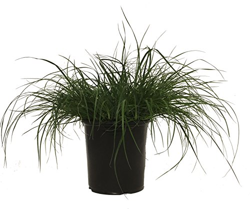 Dwarf Fountain Grass - Grass - Pe. Al. Hameln - 19cm by Premier Plant Solutions