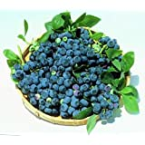 """Blueray Blueberry Plant - 20 Pounds of Berries per Bush - 7""""/12"""" - 2.5"""" Pot"""