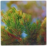 3dRose LLC 8 x 8 x 0.25 Inches The Tips of a Pinion Pine Tree in Grass Valley, Utah with New Growth Mouse Pad (mp_59491_1)
