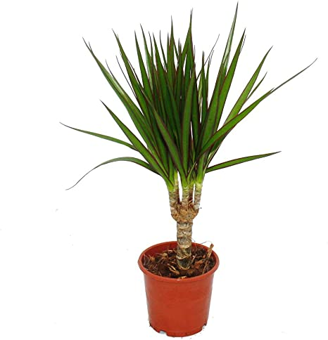 Pianta Dracaena Vaso 14cm