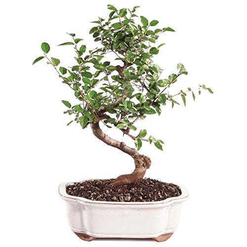 Brussel's Bonsai Live Chinese Sweet Plum Indoor Bonsai Tree - 5 Years Old 6