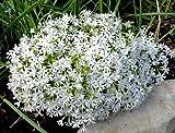 PHLOX SUBULATA SNOWFLAKE' - CREEPING PHLOX - STARTER PLANT
