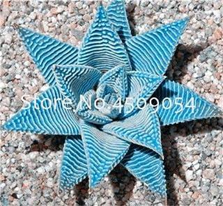 Pinkdose 200 Pz Mulit-Colour Aloe Vera bonsai Piante Erbe Rare Pianta da albero Bonsai Piante da interno Indoor Per la casa & amp; Garden Purify the Air: 4