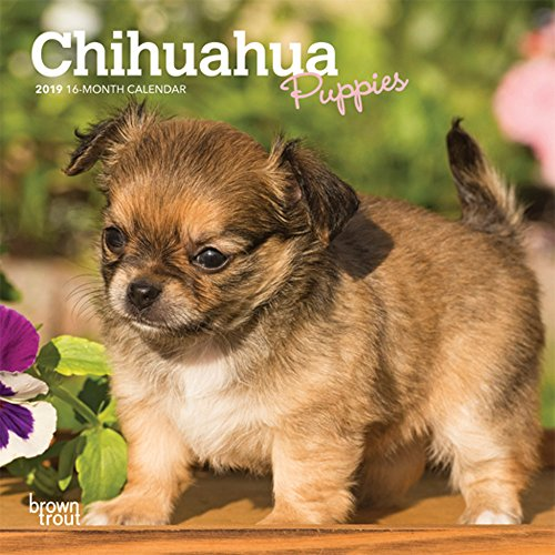 Chihuahua Puppies 2019 7 x 7 Inch Monthly Mini Wall Calendar, Animals Small Dog Breeds Puppies (Multilingual Edition)